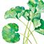 野菜のイラスト:大阪蕗(おおさかふき)